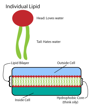Biosynthesis - Lipid membrane bilayer