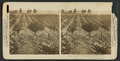 The vineyards and prune orchards of the Napa Valley, Cal, by H.C. White Co..png