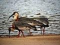Theristicus caudatus Bandurria aliblanca Buff-necked Ibis (8500578469).jpg