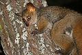 Thick-tailed Bushbaby (Otolemur crassicaudatus) (17322782575).jpg