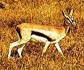 Thompson's Gazelle.jpeg