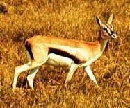 Thompson's Gazelle.jpeg