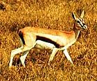 a Thompson's Gazelle in profile facing right