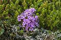 Thymus praecox01(js).jpg