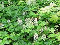 Tiarella cordifolia1.jpg