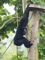 Tierpark-Pyrmont-Siamang.png