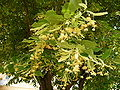 Tilia platyphyllos 02.JPG