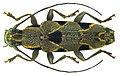 Tmesisternus distinctus Boisduval, 1835 (6708032743).jpg