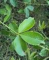 Toddalia asiatica 10.JPG