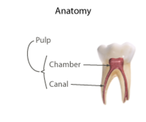 Pulpotomy - Diagram of general tooth anatomy.