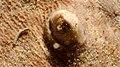 Torpedo marmorata - Eyes (20150822 - Arcachon) 02.jpg