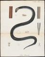 Tortrix xenopeltis - 1700-1880 - Print - Iconographia Zoologica - Special Collections University of Amsterdam - UBA01 IZ11400009.tif