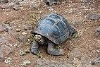 Tortuga gigante de San Cristóbal (Chelonoidis chathamensis), isla Santa Cruz, islas Galápagos, Ecuador, 2015-07-26, DD 13.JPG
