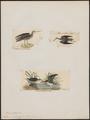 Totanus chloropygius - 1700-1880 - Print - Iconographia Zoologica - Special Collections University of Amsterdam - UBA01 IZ17400103.tif