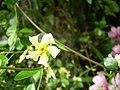 Trachelospermum asiaticum.jpg