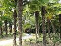 Trachycarpus H.Wendal..JPG