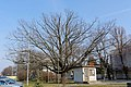 Traubeneiche GF-068 in Strasshof - Winter.jpg
