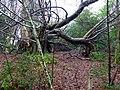 Tree at Ardgowan - geograph.org.uk - 1192130.jpg