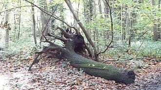 Oxleas Wood - Tree stump in Shepherdleas Wood