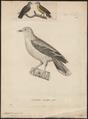 Treron olax - 1700-1880 - Print - Iconographia Zoologica - Special Collections University of Amsterdam - UBA01 IZ15600031.tif