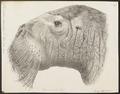 Trichechus rosmarus - kop - 1700-1880 - Print - Iconographia Zoologica - Special Collections University of Amsterdam - UBA01 IZ21100009.tif