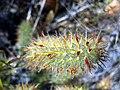 Trifolium angustifolium Closeup 2008-6-15 ValledeAlcudia.jpg