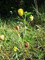 Trifolium aureum sl14.jpg