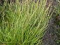 Triglochin maritimum plant (01).jpg