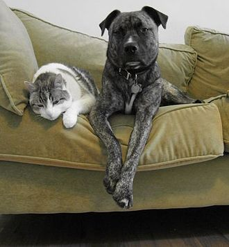 Pet - A tabby cat and a mixed Molosser dog