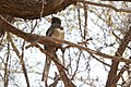 Trogon elegans -Patagonia Lake State Park, Arizona, USA -female-8.jpg