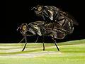 Tropical Signal fly ? - copula (6408206789).jpg