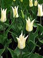 Tulipa (lilly-flowered, bicolor) 02.JPG