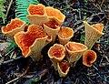 Turbinellus floccosus 690048.jpg