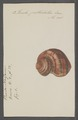 Turbo petholatus - - Print - Iconographia Zoologica - Special Collections University of Amsterdam - UBAINV0274 082 23 0013.tif