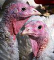 Turkey hens, close-up.jpg