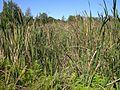 Typha orientalis habit3 NC - Flickr - Macleay Grass Man.jpg