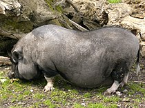 Ulm Tiergarten Hängebauchschwein.jpg