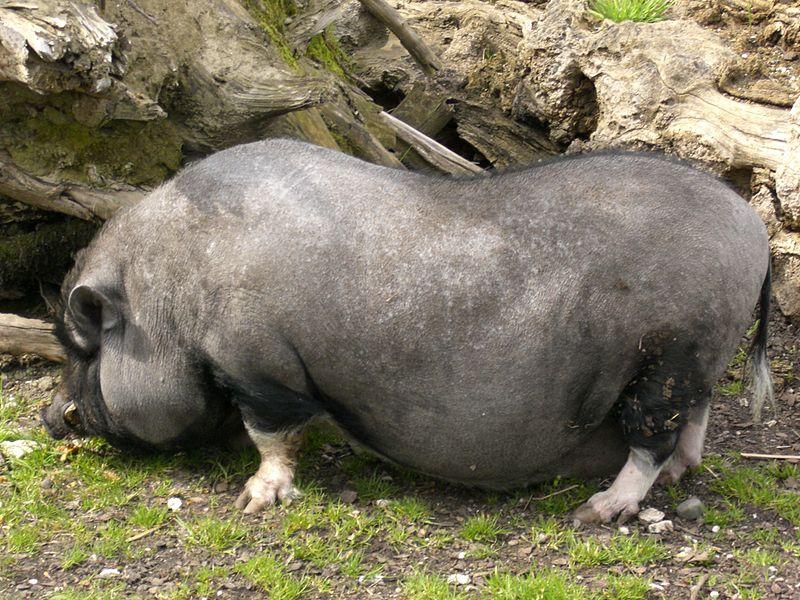 hangbuikzwijn, foto Harald Hopfes