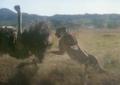 Ultime grida della savana (1975) - Cheetah hunting ostrich 2.png