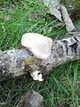 Unidentified fungi in Sevastopolsky park 01.jpg