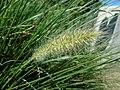 Unidentified poaceae.001 - Breendonk.jpg