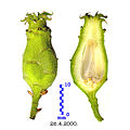 Unripe hypanthium of Chimonanthus praecox.jpg