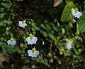 Utricularia striatula 16.JPG