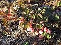 Vaccinium uliginosum plant 2 upernavik 2007-07-07.jpg