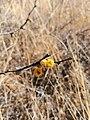 Vachellia farnesiana in winter.jpg