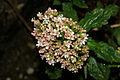 Valeriana tripteris PID1017-3.jpg