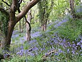 Valley of Bluebells - geograph.org.uk - 173874.jpg