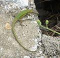 Vaucher's Wall Lizard - Podarcis vaucheri - Flickr - gailhampshire (2).jpg