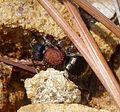 Velvet Ant. Mutillidae. Tropidotilla litoralis - Flickr - gailhampshire.jpg