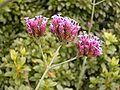 Verbena bonariensis 02 ies.jpg